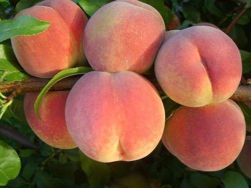 Персик сорт Ветеран