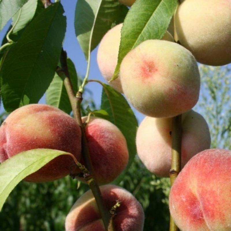 Персик сорт Память Мотовилова