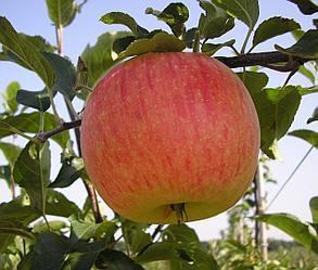 Яблоня сорт Мельба