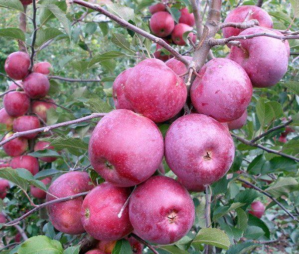 Яблоня сорт  Флорина