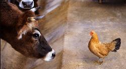 Расчет рационов для КРС, свиноводства и птицы