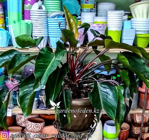 Филодендрон – тропическая лиана с изумрудными листьями (в пластиковом транспортировочном горшке), фото 2