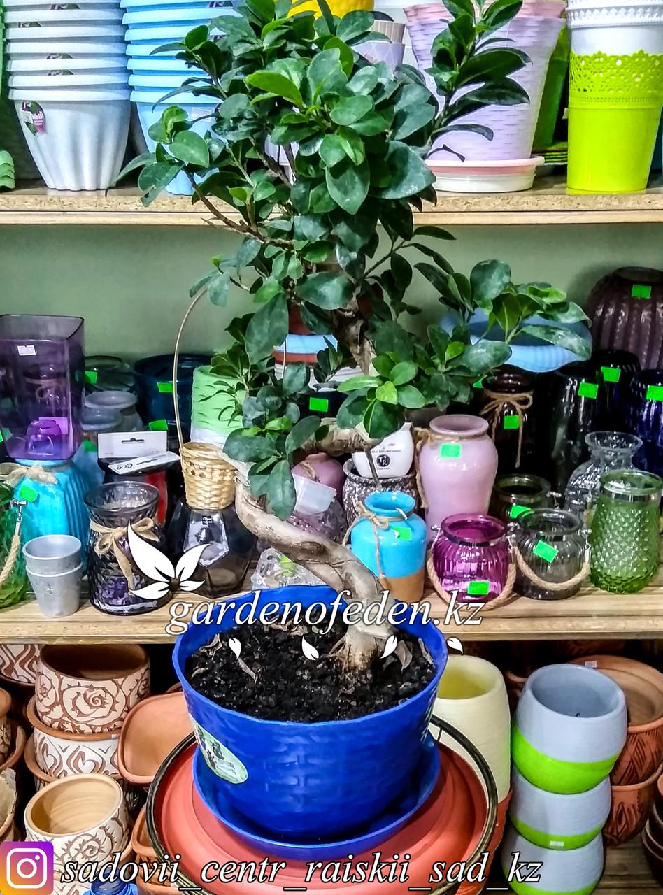 Бонсай - миниатюрное деревце (в пластиковом транспортировочном горшке)