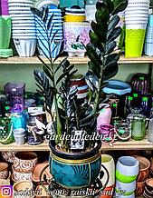 Замиокулькас - долларовое дерево, черный, редкий сорт (в пластиковом транспортировочном горшке)