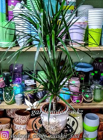Драцена (Комнатная пальма) (в пластиковом транспортировочном горшке), фото 2