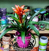 Гузмания – яркая тропическая корона (в пластиковом транспортировочном горшке)