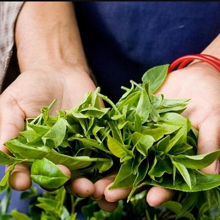 Чайный куст(горшечное растение), фото 2