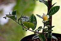 Чайный куст(горшечное растение)