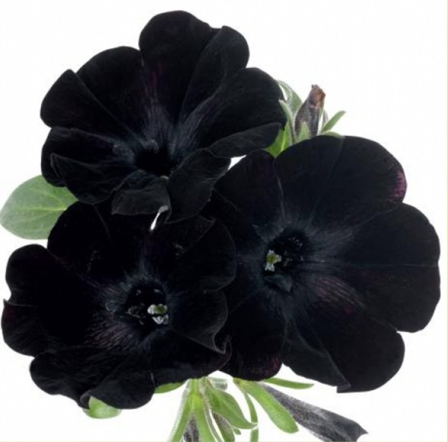 Sweetunia Black Satin  №522