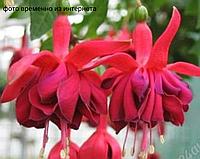 Schweizer Landfrauen/ подрощенное растение