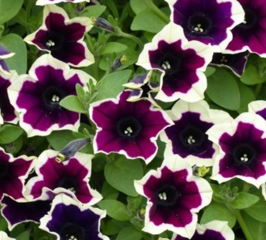 Cascadias Rim Magenta №514 / подрощенное растение