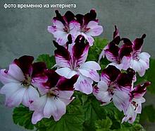 Debbie / подрощенное растение