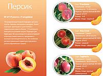 Профессиональные саженцы персика, фото 3
