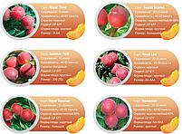 Профессиональные саженцы персика, фото 5
