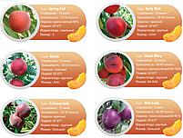 Профессиональные саженцы персика, фото 4
