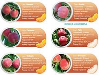 Профессиональные саженцы персика, фото 8