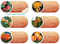 Профессиональные саженцы персика, фото 9