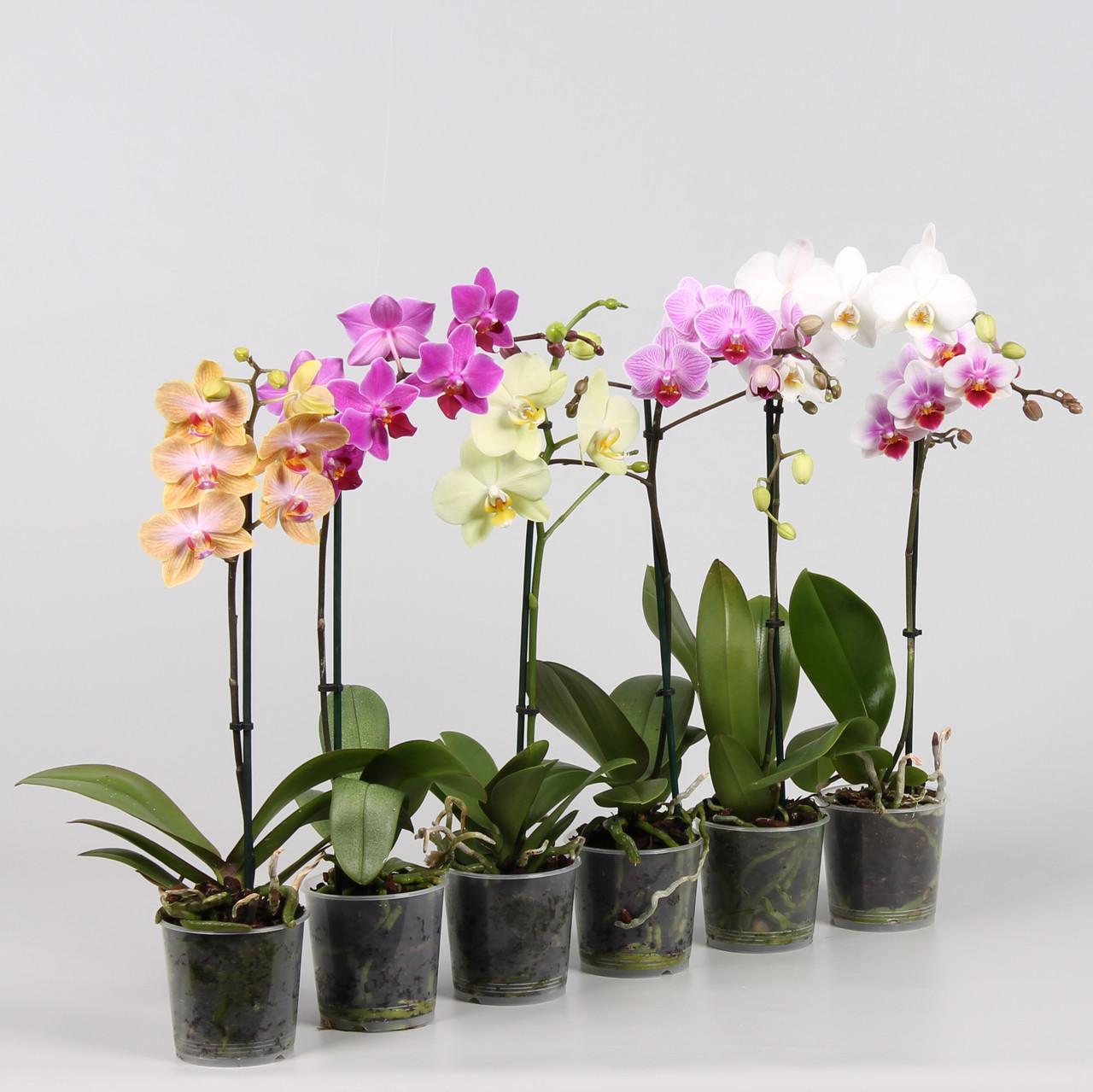 Орхидея фаленопсис. Высота: 70см. Диаметр горшка: 12см.