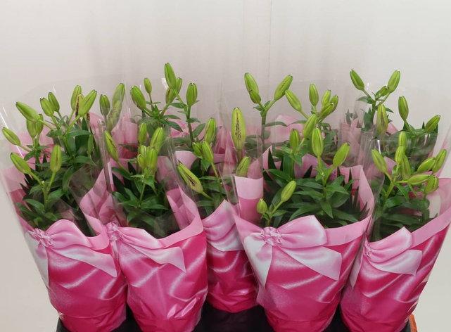 Лилия азиатская. Высота растения: 40см., фото 2