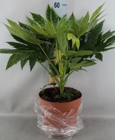 Фатсия японская. Высота растения: 80см.
