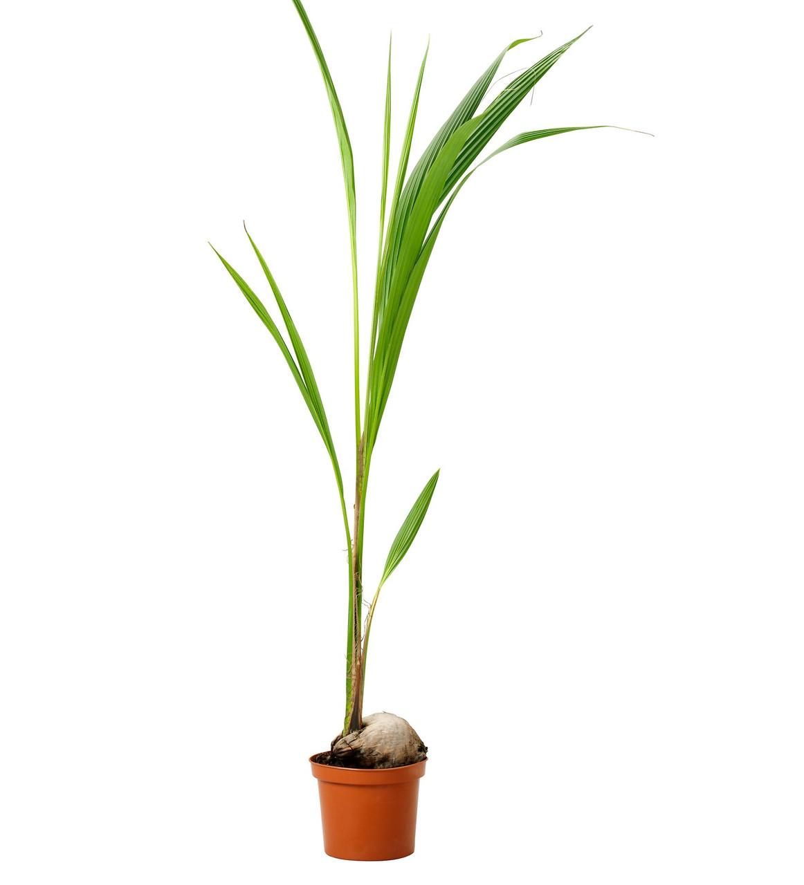 Кокосовая пальма. Высота растения: 120см.Поступление 14 декабря