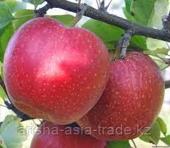 Саженцы яблони м9 Gala must