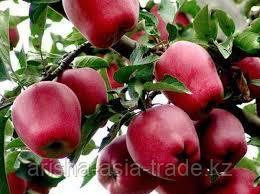 Саженцы яблони м9 Red Dilicious