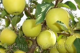 Саженцы яблони м9 Luna