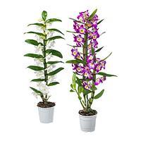 ОРХИДЕЯ Растение в горшке, Орхидея, различные растения, фото 1