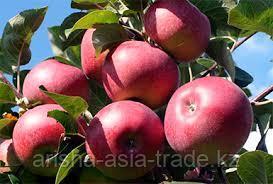 Саженцы яблони м9 Lobo