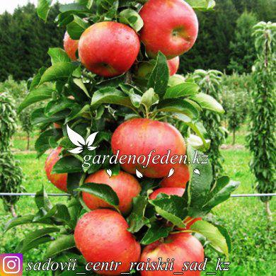 "Крупноплодная колоновидная яблоня ""Кумир"", фото 2"