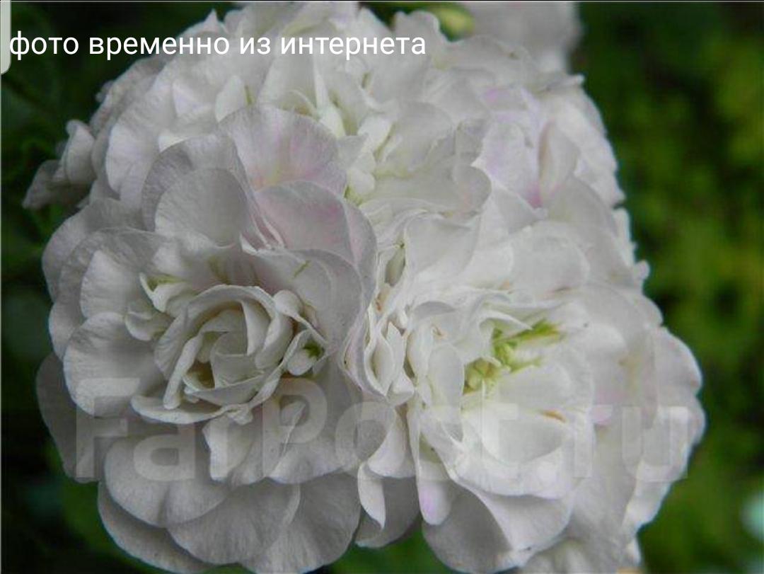 Ice Rose / укор.черенок