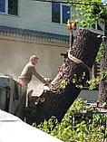 Спил обреска кронирование деревьев, фото 7