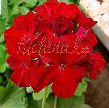 Calliope Dark Red / укор.черенок