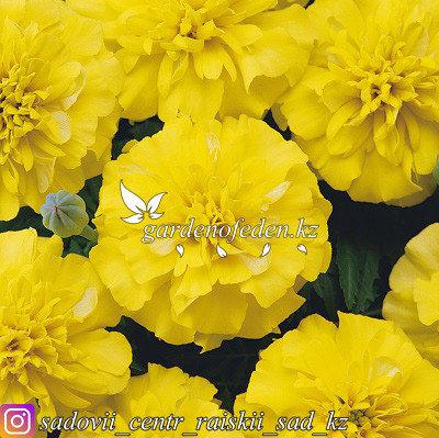 """Профессиональные семена. Бархатцы отклоненные """"Bonanza Yellow"""",10 штук., фото 2"""