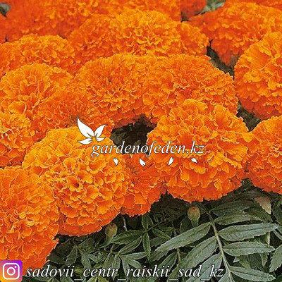"""Профессиональные семена. Бархатцы прямостоячие """"Cupid Orange"""",10 штук ., фото 2"""