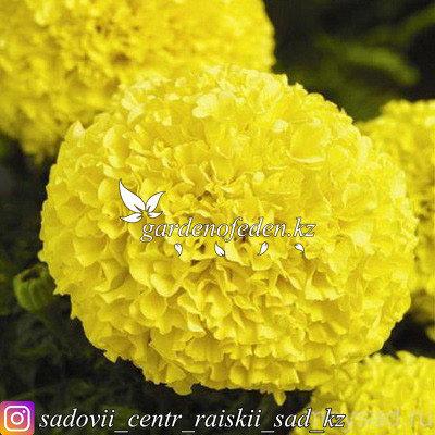 """Профессиональные семена. Бархатцы прямостоячие """"Discovery Yellow"""",10 штук., фото 2"""