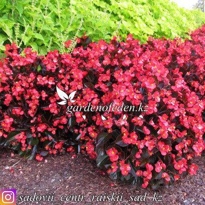 """Профессиональные семена. Бегония Megawatt """"Rose Bronze Leaf"""",2 шт., фото 2"""