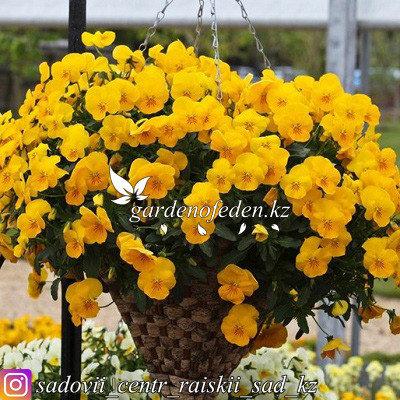 "Профессиональные семена. Виола виттрока ""Freefall Golden Yellow"",3 драже ., фото 2"
