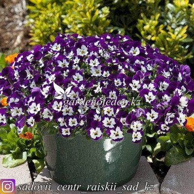 """Профессиональные семена. Виола виттрока """"Freefall Purple & White""""3 драже., фото 2"""