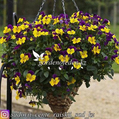 "Профессиональные семена. Виола виттрока ""Freefall Purple Wing"",3 драже., фото 2"
