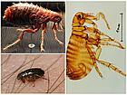 Уничтожение насекомых блох чешуйниц дезинсекция, фото 6
