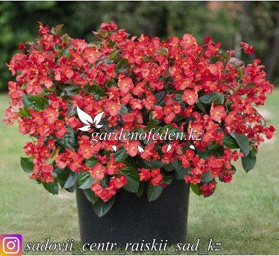 """Профессиональные семена. Бегония """"Big DeluXXe Red Green Leaf"""",2 штуки., фото 2"""