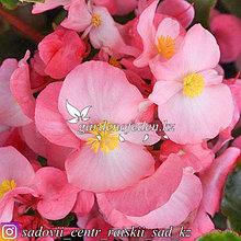 """Профессиональные семена. Бегония Megawatt """"Pink Bronze Leaf"""",2 шт.."""