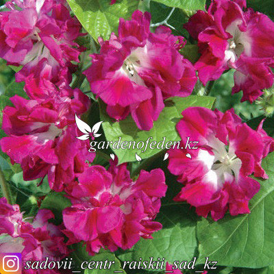"""Профессиональные семена. Ипомея Imperialis """"Ruffled Pink"""",5 штук., фото 2"""