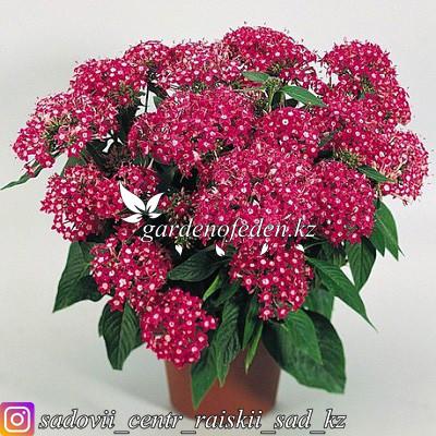 """Профессиональные семена. Пентас Lanceolata """"New Look Rose"""",5 драже ."""