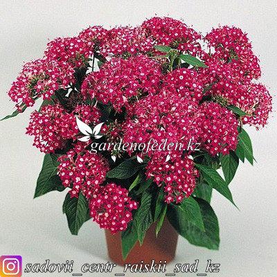 """Профессиональные семена. Пентас Lanceolata """"New Look Rose"""",5 драже ., фото 2"""
