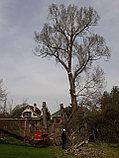 Спил деревьев, фото 8