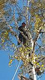 Спил деревьев, фото 3