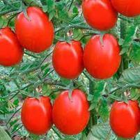 Семена сорта Новичок, фото 2